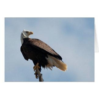 Carte Eagle chauve été perché sur le bois de flottage