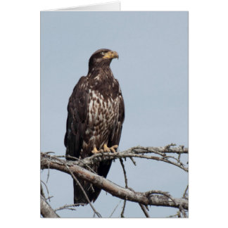 Carte Eagle chauve non mûr