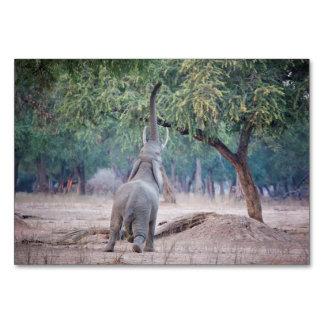 Carte Éléphant atteignant pour l'arbre d'acacia