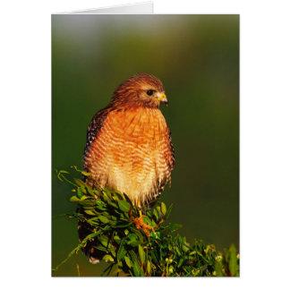 Carte faucon Rouge-épaulé (lineatus de Buteo) dedans tôt