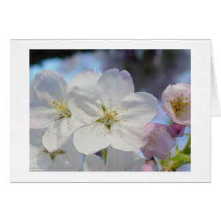 Carte Fleurs de cerisier roses