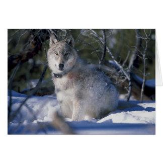 Carte Loup dans la neige