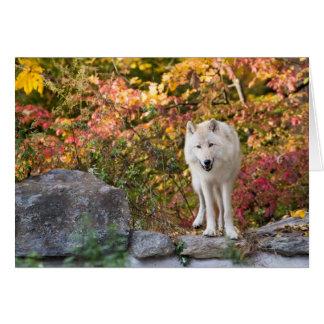 Carte Loup gris curieux