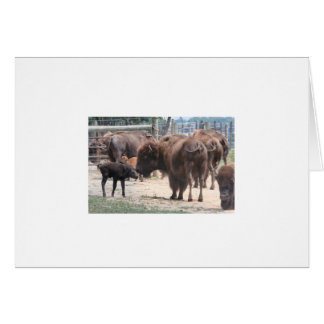 Carte pâturage de bison