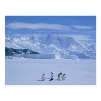Carte Postale Adeliae de pingouins, de Pygoscelis d'Adelie),