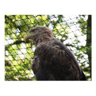 Carte Postale aigle Blanc-coupé la queue