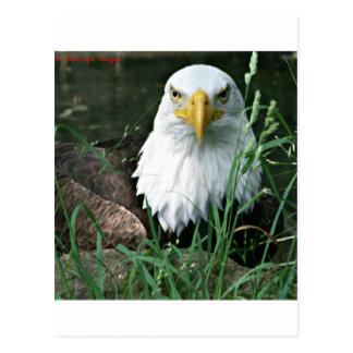 Carte Postale aigle chauve