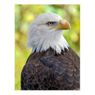 Carte Postale Aigle chauve américain