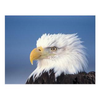 Carte Postale aigle chauve, leuccocephalus de Haliaeetus,