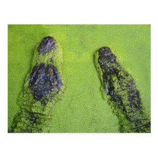Carte Postale Alligator américain trouvé dans l'ensemble de la