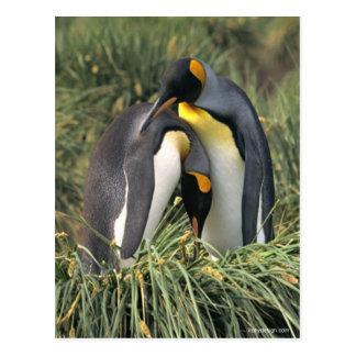 Carte Postale Amants de pingouins de roi