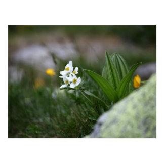 Carte Postale anémone Narcisse-fleurie (narcissiflora d'anémone)