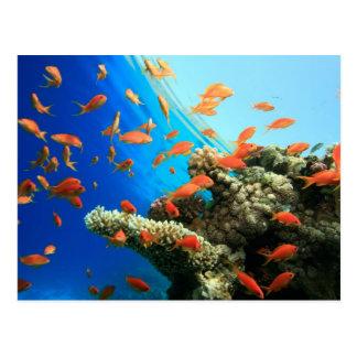 Carte Postale Anthias de Lyretail sur le récif coralien