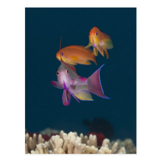 Carte Postale Anthias tropical coloré, la vie sous-marine