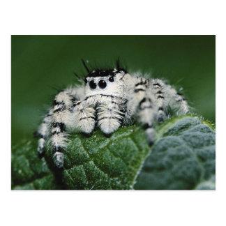 Carte Postale Araignée sautante de Metaphid