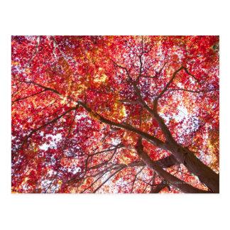 Carte Postale Arbre d'érable rouge