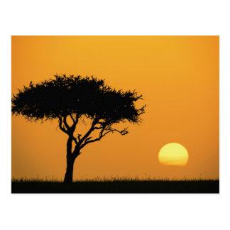 Carte Postale Arbre simple d'acacia silhouetté au lever de