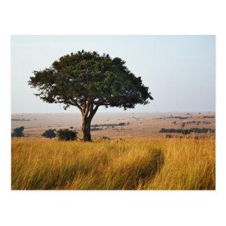 Carte Postale Arbre simple d'acacia sur les plaines herbeuses,