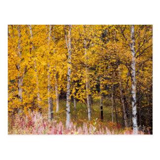 carte postale, arbres de bouleau en automne,