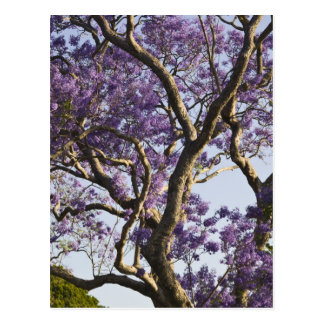 Carte Postale Arbres de floraison de Jacaranda en nouveau parc