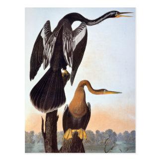 Carte Postale Audubon : Anhinga