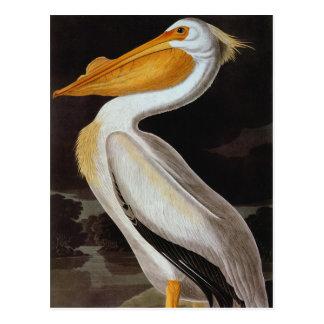 Carte Postale Audubon : Grand pélican blanc
