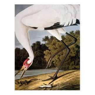 Carte Postale Audubon : Grue de huée