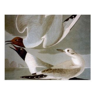 Carte Postale Audubon : La mouette de Bonaparte