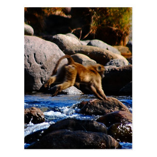 Carte Postale Babouins traversant la rivière