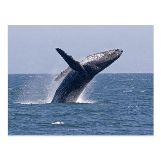 Carte Postale Baleine de bosse Pacifique…