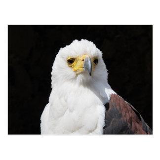 Carte Postale Beau portrait blanc d'aigle