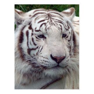 Carte Postale Beau tigre blanc