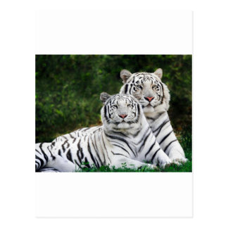 Carte Postale Beaux tigres blancs