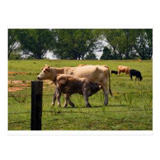 Carte Postale Bébé de soins de vache à mère