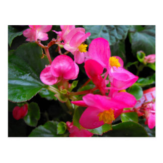 Carte Postale Bégonia rose