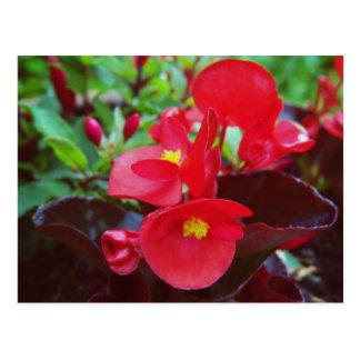 Carte Postale Bégonia rouge