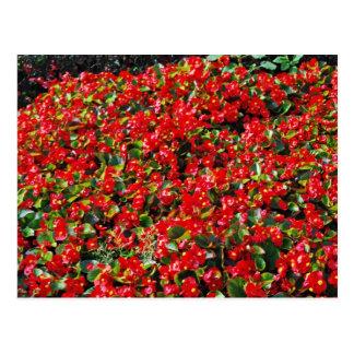 Carte Postale Bégonias rouges