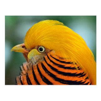Carte Postale Bel oiseau de faisan d'or
