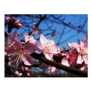 Carte Postale Belle fleur rose de prune