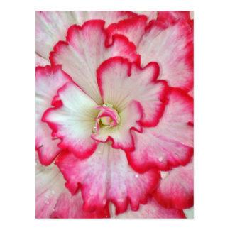 Carte Postale Belles fleurs roses et blanches de bégonia