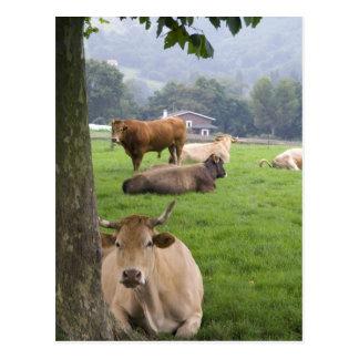 Carte Postale Bétail sur les terres cultivables rurales près de