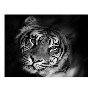 Carte Postale blanc-tigre