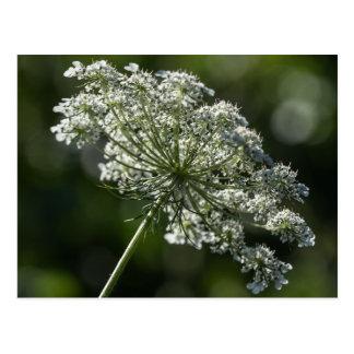Carte postale blanche de fleur sauvage de dentelle