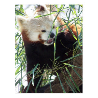 Carte Postale Bouche ouverte de panda rouge