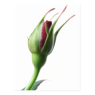 Carte Postale Bourgeon rose