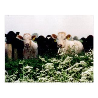Carte Postale Bovins, vaches au WILTSHIRE, Angleterre