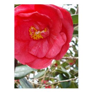 Carte Postale Camélia de roses indien s'élevant sur un arbre,