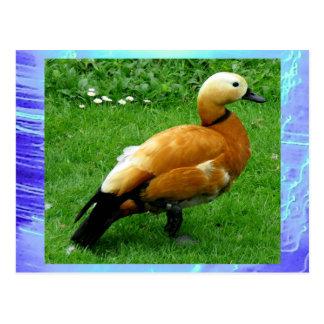 Carte postale - canard