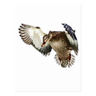 Carte Postale Canard en vol