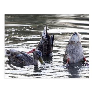 Carte Postale Canards de plongée